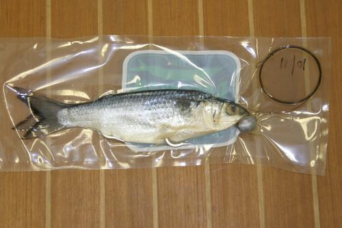Mullet rigged double hook split tail wedged for Mullet fish bait